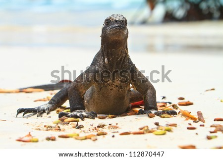 Iguana on the beach,  shot at Tortuga Bay beach in Galapagos Islands in Ecuador, south america