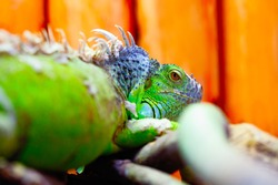 Iguana on the branches .  Portrait of herbivorous lizards