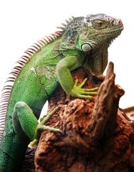 iguana on the white background