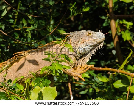 Iguana on tree in nature looking in camera #769113508