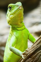 Iguana're looking for prey to feed on the tree.