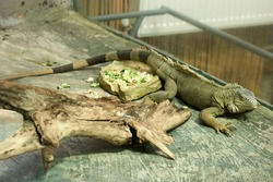 Iguana reptile animal in the zoo. Reptile animal indoor. Wild life concept.