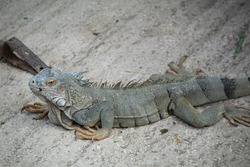 Iguana reptile lizard scales herbivore
