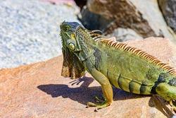 Iguana reptilian, exotic wild dragon