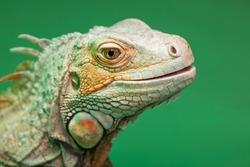 iguana, reptilian, exotic wild dragon