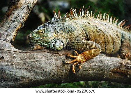 iguana standing on the branch waiting for prey