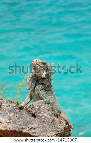 Iguana sticking tongue out