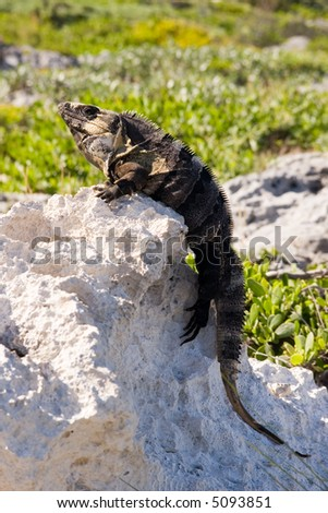 Iguana sunbathing on a rock