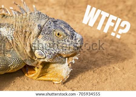 "Iguana, the inscription: ""WTF?""  #705934555"