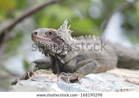Iguana, tropical reptile sitting on rocks