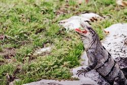 Iguana with opened mouth. Mexico. Iguana with muzzle opened. Exotic pets.