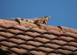 Iguana with orange and black skin is sunning on a clay barrel tiled rooftop against a deep blue sky.