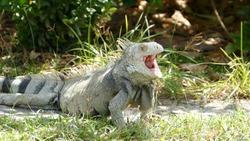 Iguana yawning on Aruba
