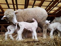 Ile de france sheep with lamb on farm
