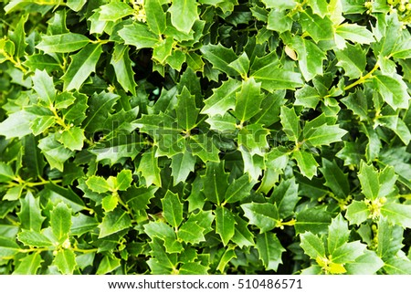 Ilex aquifolium (holly, common holly, English holly, European holly, or occasionally Christmas holly) green leaves #510486571