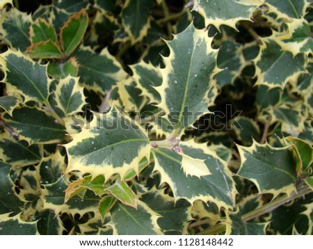 Ilex aquifolium (holly, English holly, European holly, or occasionally Christmas holly) #1128148442