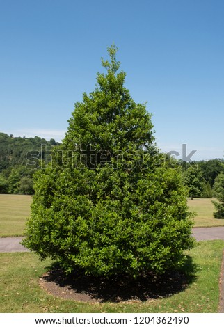 Ilex aquifolium ' Pyramidalis' (Holly Tree) in a Park in Rural Devon, England, UK