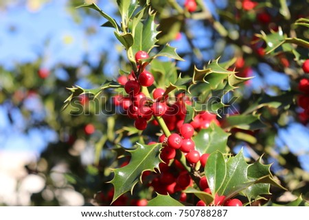 Ilex, or holly, It is a genus of small, evergreen trees with smooth, glabrous, or pubescent branchlets. The plants are generally slow-growing #750788287