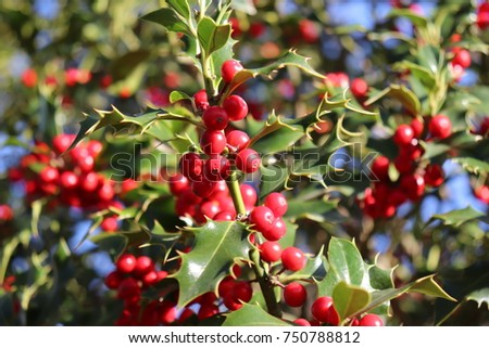 Ilex, or holly, It is a genus of small, evergreen trees with smooth, glabrous, or pubescent branchlets. The plants are generally slow-growing #750788812