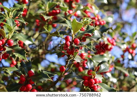 Ilex, or holly, It is a genus of small, evergreen trees with smooth, glabrous, or pubescent branchlets. The plants are generally slow-growing #750788962