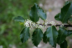 Ilex plant of the family Aquifoliaceae blooming in spring garden