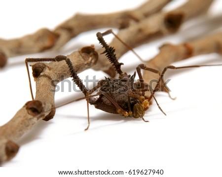 Ilhaia cuspidata a Brazilian opilion, a non venomous aracnidae Foto stock ©