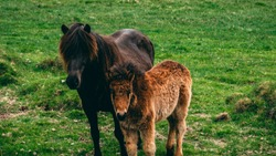 ilittle iceland horse with her mum horse in iceland on grass cute