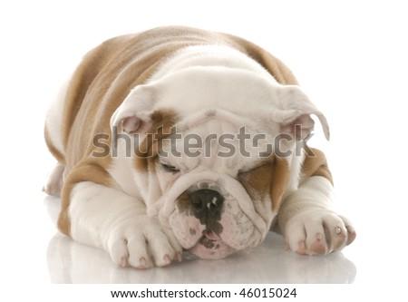 ill looking english bulldog puppy making a sickly face