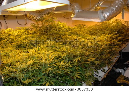 Illegal marijuana, skunk cannabis factory showing growing lights still working