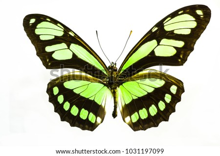 Illuminated bright lime green butterfly.  This is a Philaethria Dido Longwing species from South America.