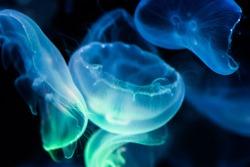 Illuminated jellyfishes