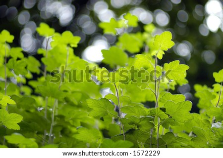 Illuminated leaves with a darker trees behind, very selective focus using large apeture lens