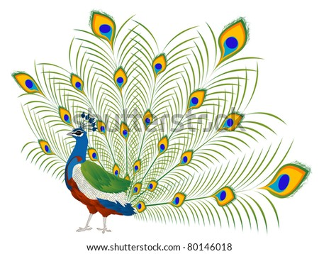 Illustration of a beautiful peacock over white