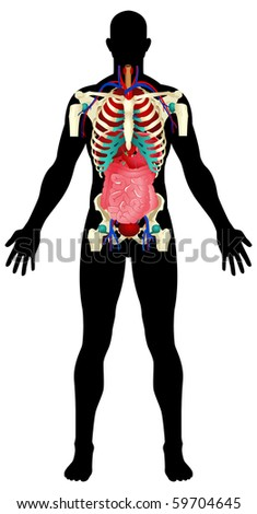 Illustration of a male figure with the internal organs