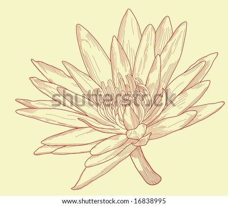 Illustration of a water lily flower