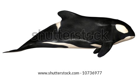 Illustration of an Killer Whale isolated on a white background