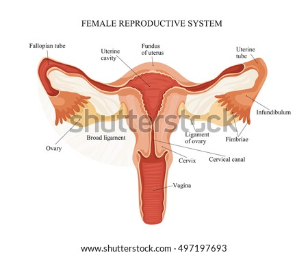 Illustration Of The Male Reproductive System Prostate Testicles