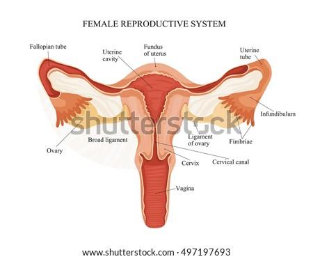 anatomy of the male and female genitalia | EZ Canvas
