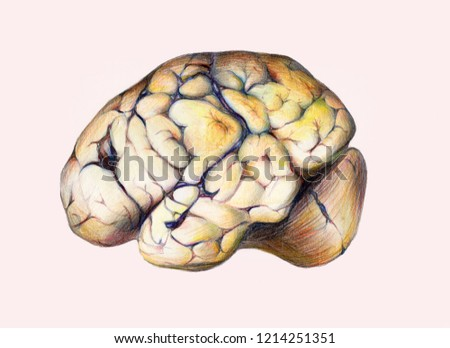 Illustration of human brain on white background.