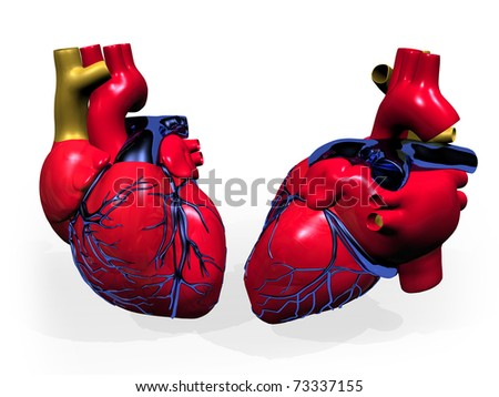 illustration of human heart, with veins and artery