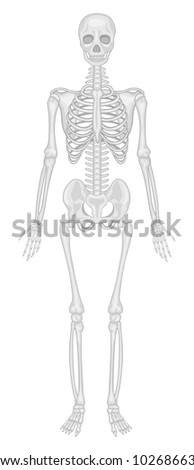 Illustration of human skeletal system - EPS VECTOR format also available in my portfolio.