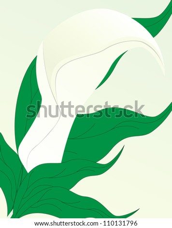 Illustration of white calla