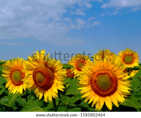 illustration of yellow sunflowers under blue sky and white clouds in oil paint style. sunflower heads with bright yellow petals and large lush green leaves, summer scene. beauty in nature concept.