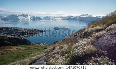 Ilulissat, Greenland - July 3, 2019: Abundant white flowers along the Ilulissat ice fjord with vast ice bergs in the background in western Greenland.
