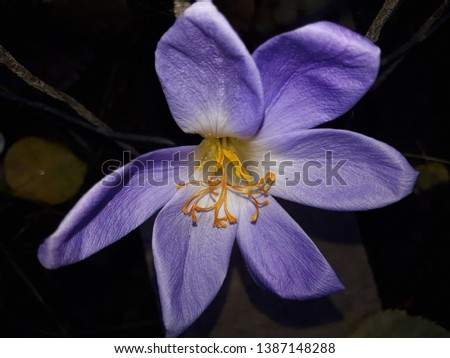 Image beautiful delicate purple flower with yellow stamens.  Picture of autumn flowers close up. Flowers Image. Photos with purple crocus flowers. Crocuses - first spring flowers in a garden