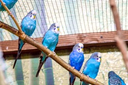 Image blue parrots sitting on a branch in an aviary