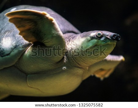 image capture of closeup underwater swimming fly river turtle #1325075582