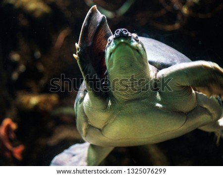 image capture of closeup underwater swimming fly river turtle #1325076299