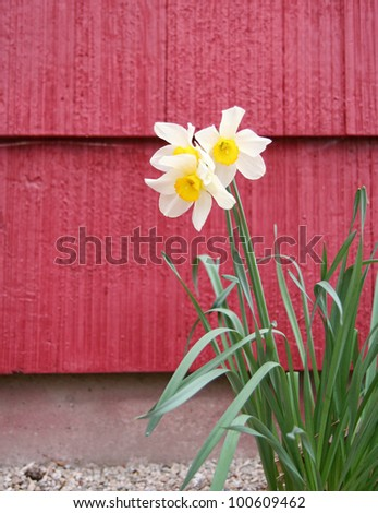 image from plant series - yellow daffodil