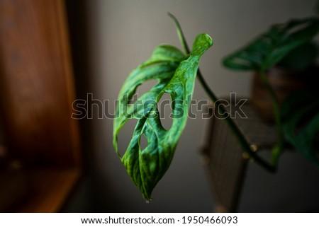 image of a beautiful monstera oblicua Foto stock ©